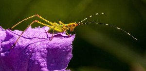 Baby Katydid on a flower