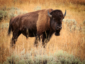 Second Place American Bison - John McCartney